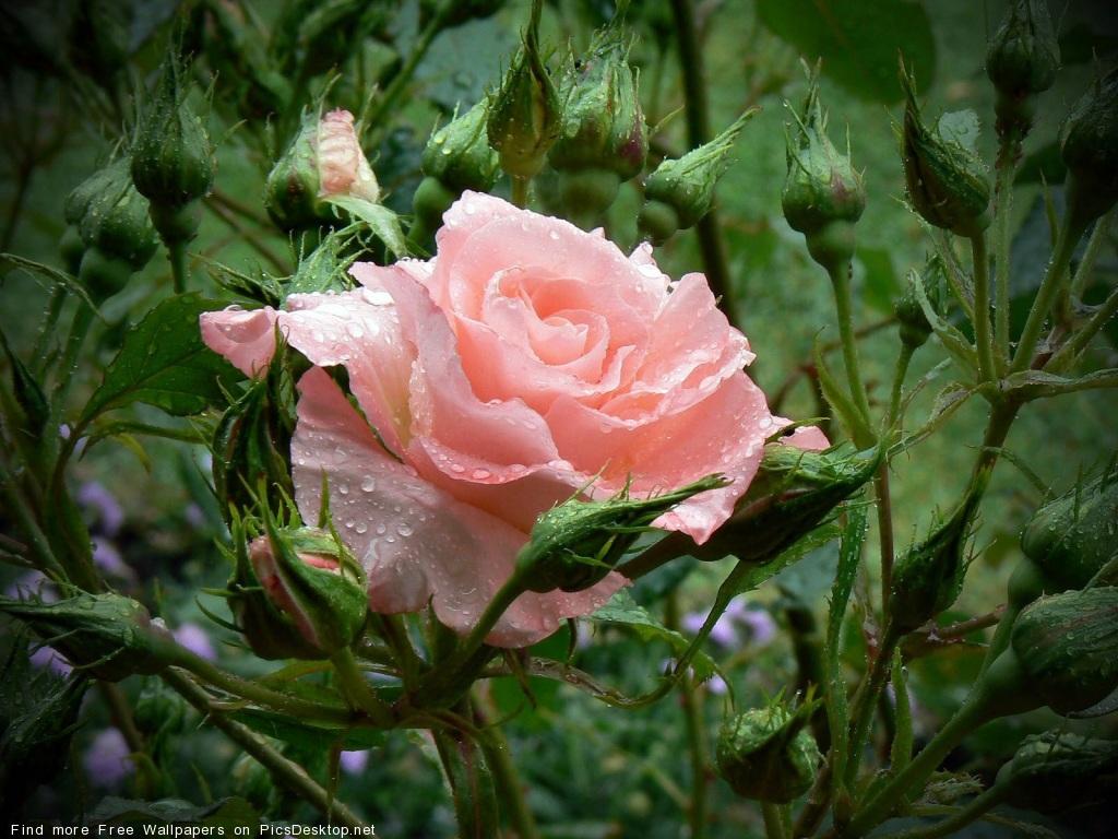 Как черенковать плетистую розу видео 5