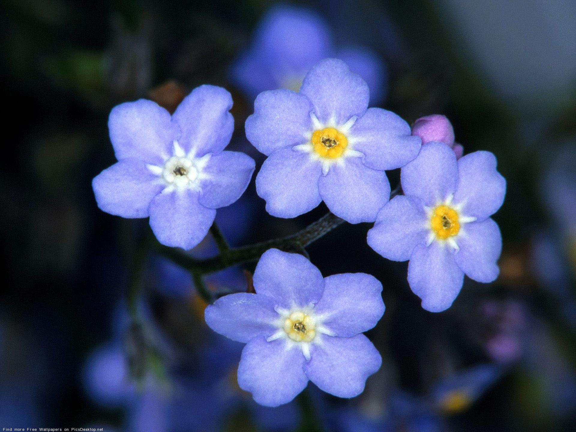 Стола незабудки обои цветы
