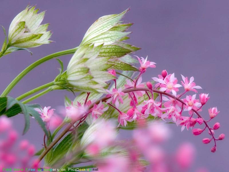 Сонники цветы