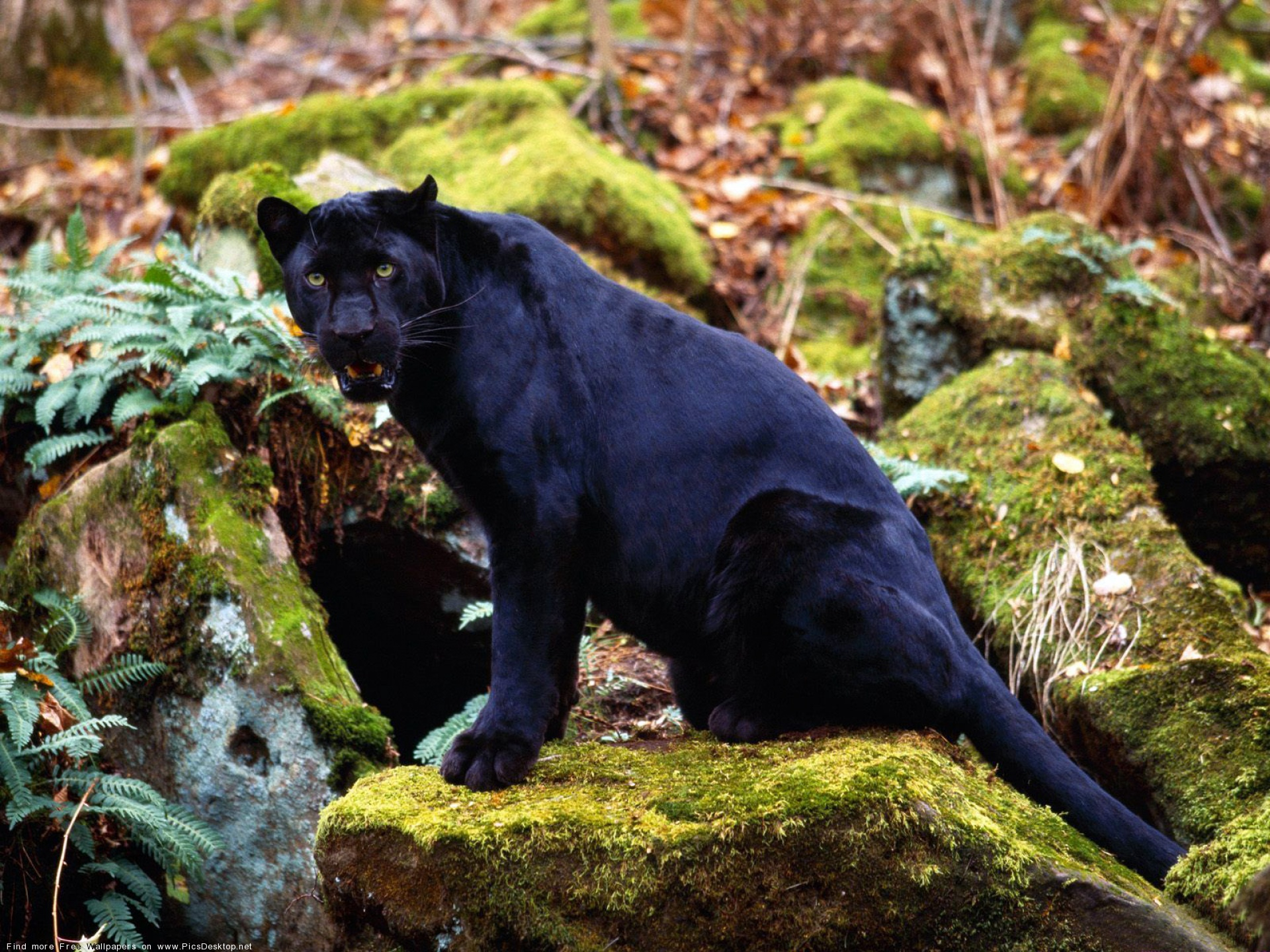 Чтобы посмотреть обою для рабочего стола Большие кошки Пантеры