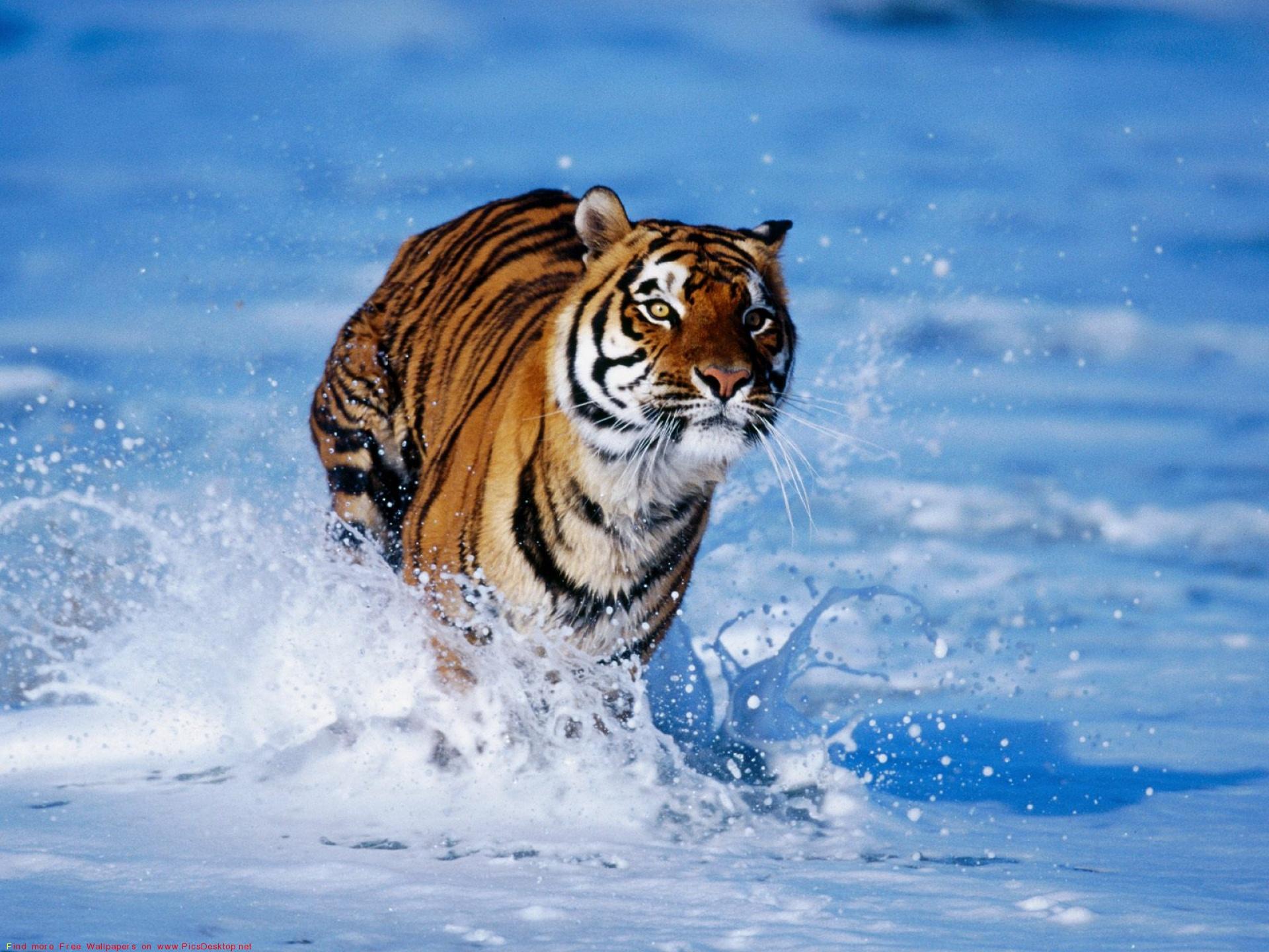 Тигры (12 фото) - Скарамуш.ру - сайт хорошего настроения!