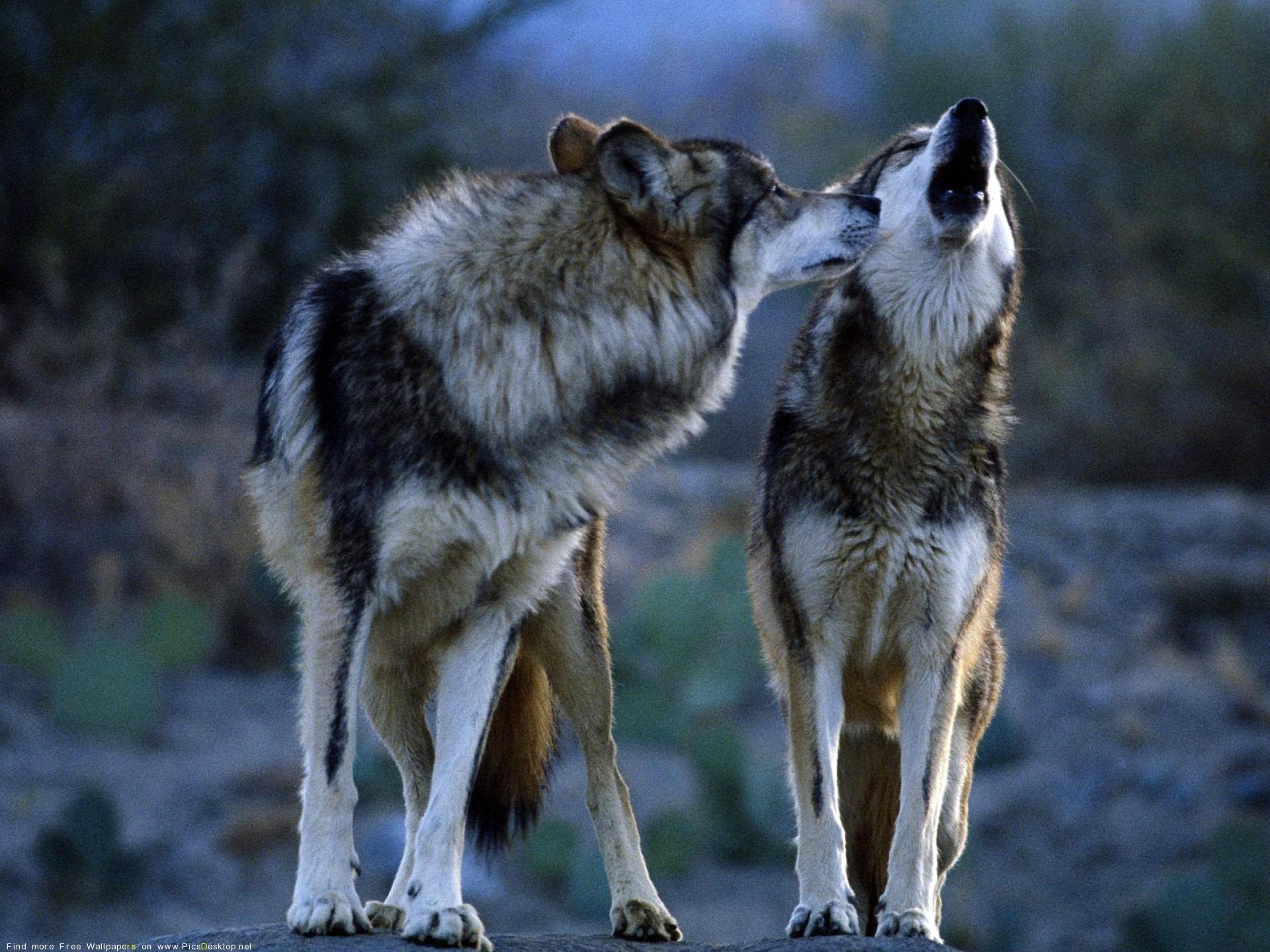 Чтобы посмотреть обою для рабочего стола Волки Животные  58269 в
