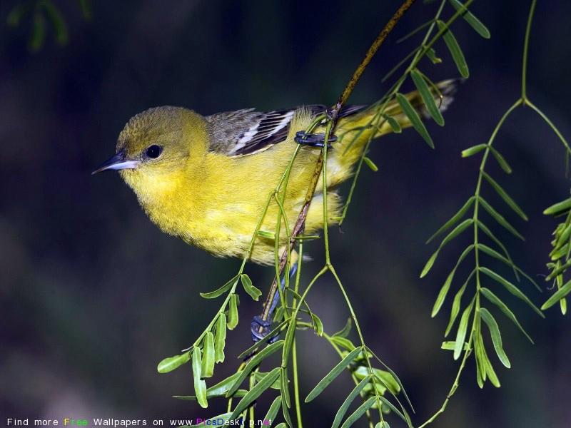 Маленькая птичка с маленьким клювиком, желтой окраски сидит на зеленой веточке.
